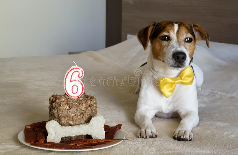 Dog att ligga med kakan på hans sjätte födelsedag Husdjurs fester royaltyfri bild
