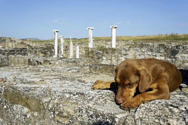 Dog att sova i den arkeologiska platsen Stobi, R macedonia royaltyfri bild