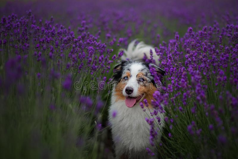 Dog australian shepherd in lavender. Pet in the summer on the nature in colors. Dog australian shepherd in lavender. Pet in the summer on the nature in lilac royalty free stock photo