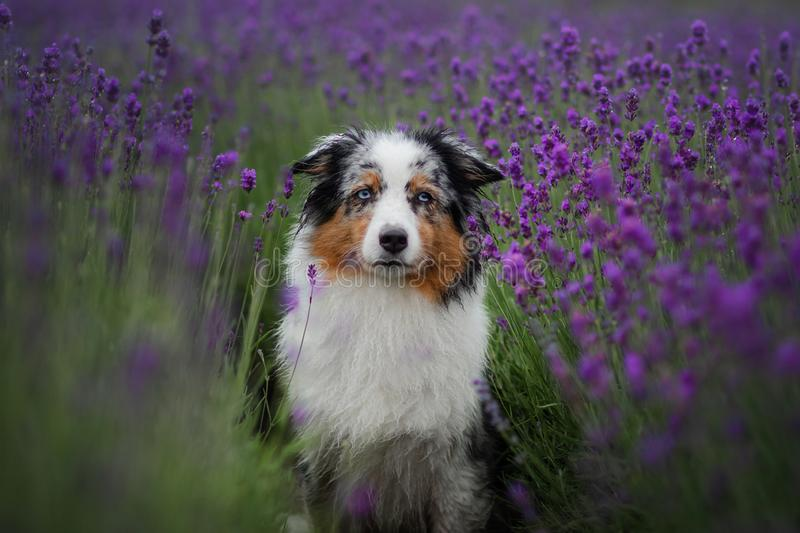 Dog australian shepherd in lavender. Pet in the summer on the nature in colors. Dog australian shepherd in lavender. Pet in the summer on the nature in lilac royalty free stock photography