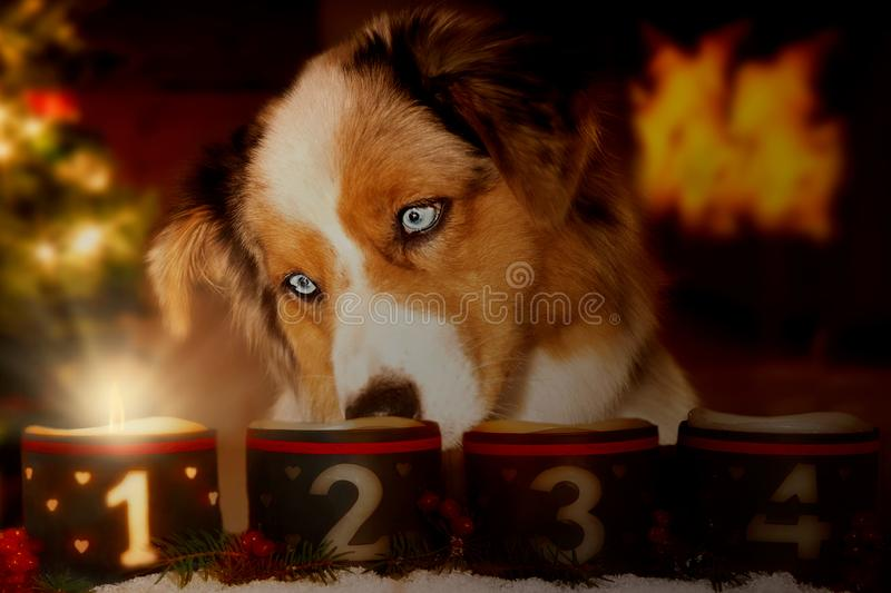 Dog, Australian Shepherd looks at glowing Advent candle royalty free stock photography