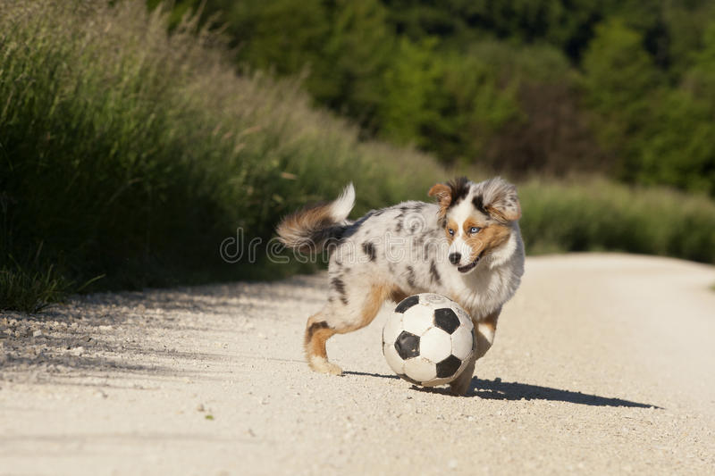 Dog; Australian Shepherd playing with football. In nature royalty free stock photos