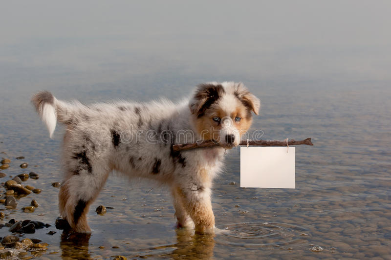 Dog; Australian Shepherd puppy, while bathing on vacation with c stock photography
