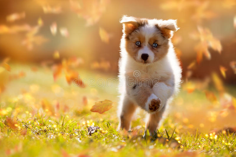 Dog, Australian Shepherd puppy jumping in autumn leaves royalty free stock photo