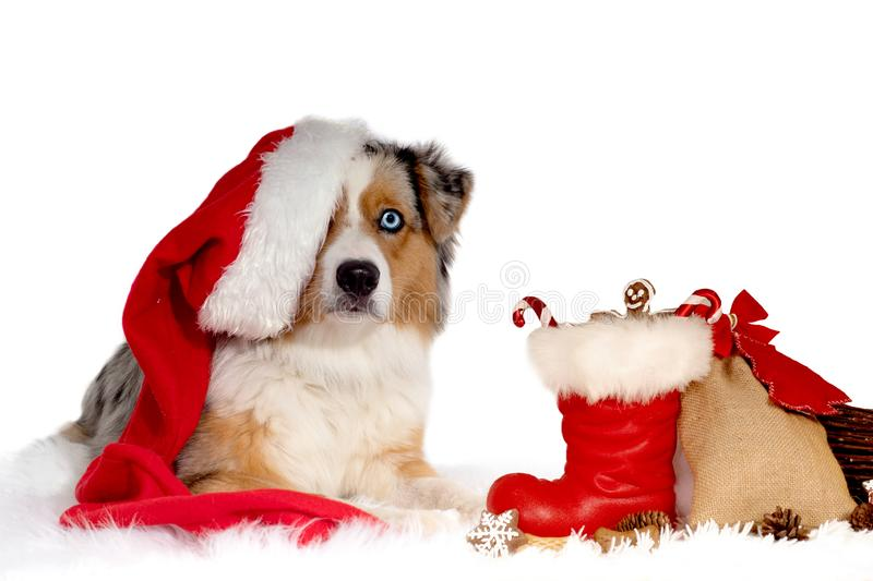 Dog, Australian Shepherd, with Santa Claus hat on his head, lying in front of Christmas gifts, stock photos