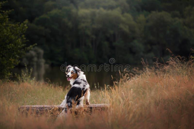 Dog Australian Shepherd sitting on a bench. Pet in nature. Autumn mood. Dog Australian Shepherd sitting on a bench. Pet in nature near lake. Autumn mood royalty free stock photo