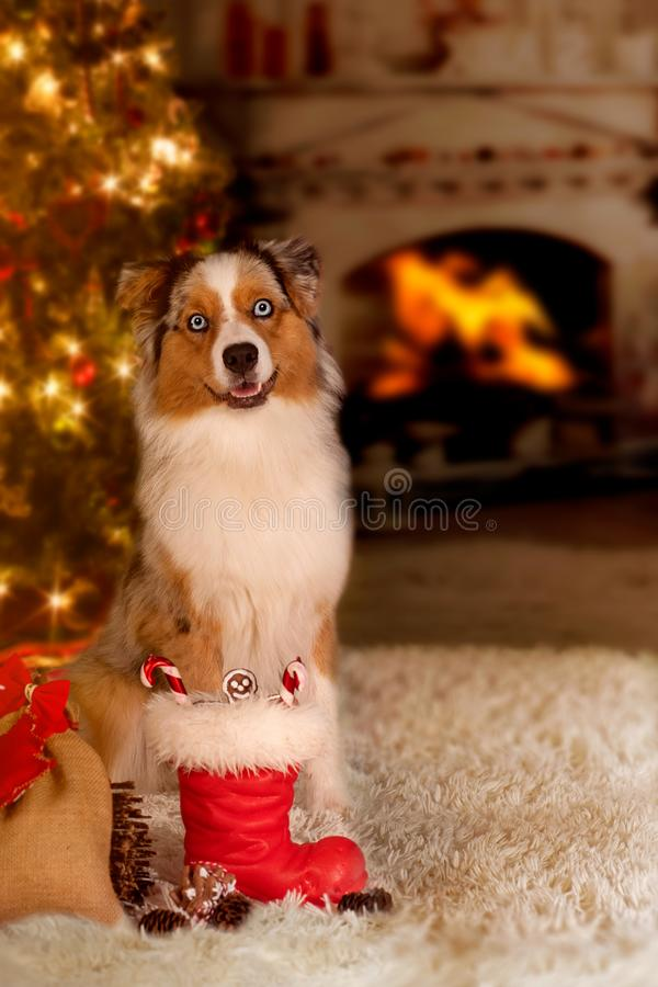 Dog; Australian Shepherd sitting in front of the Christmas tree stock photos