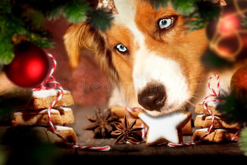 Dog, Australian Shepherd stealing Christmas cookies stock photo
