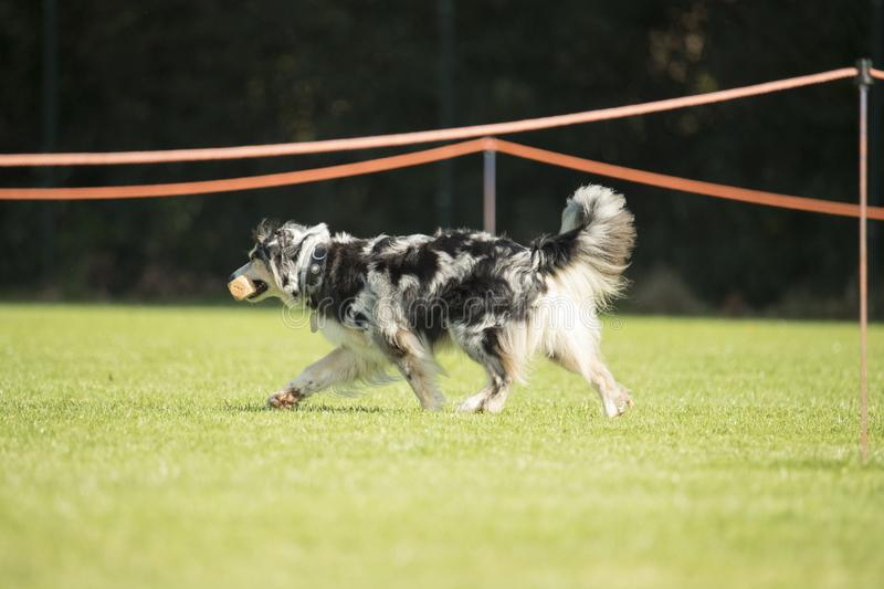 Dog, Australian Shepherd, walking with dumbbell in his mouth. Dog, Australian Shepherd, walking with a dumbbell on green grass royalty free stock photography