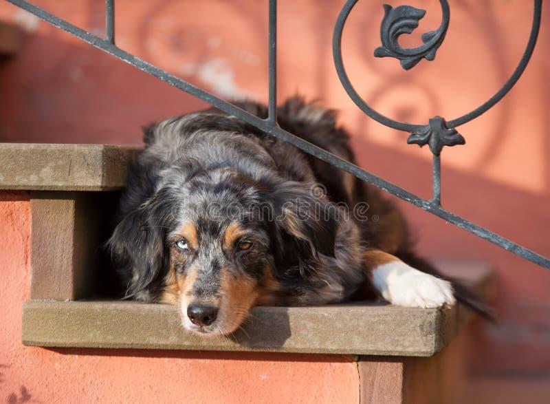 Dog australianShepherd on stairs royalty free stock images