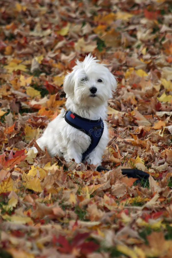 Dog in Autumn Leaves. A small white dog sits in a pile of Autumn leaves stock photo
