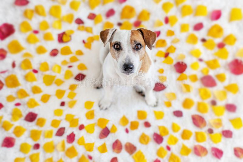 Dog in autumn leaves. Beautiful dog in yellow and red leaves royalty free stock image