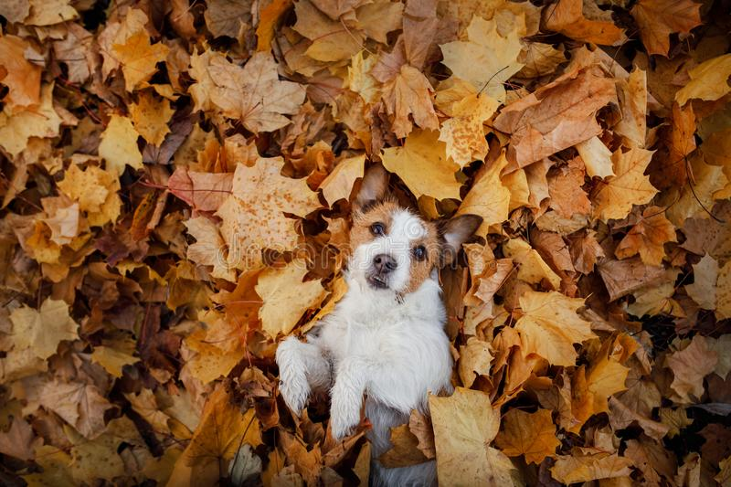 Dog in autumn leaves flat lay. lhappy jack russell terrier plays. Dog in autumn leaves flat lay. lucky jack russell terrier plays stock photos