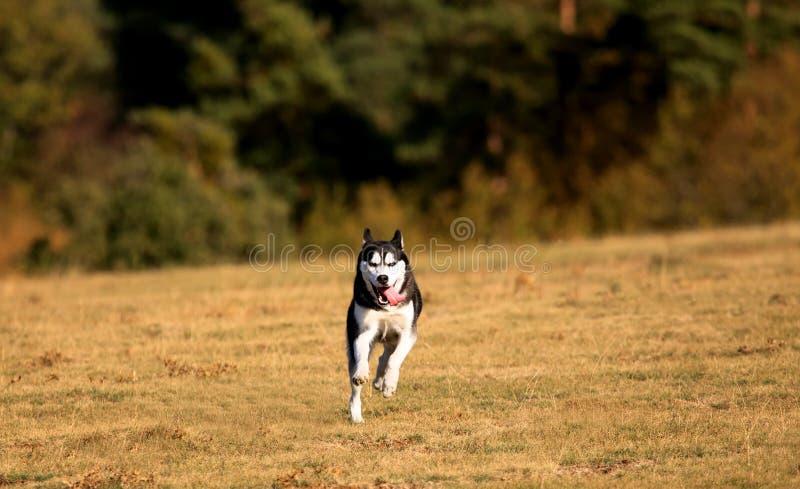 Dog in autumn meadows stock photo