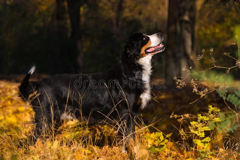 Dog in autumn park stock images