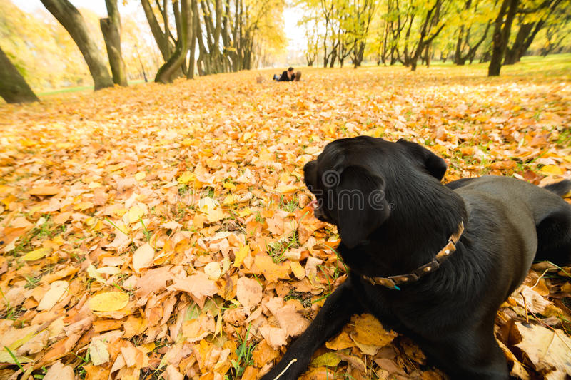 Dog in autumn park looking at the couple stock photos