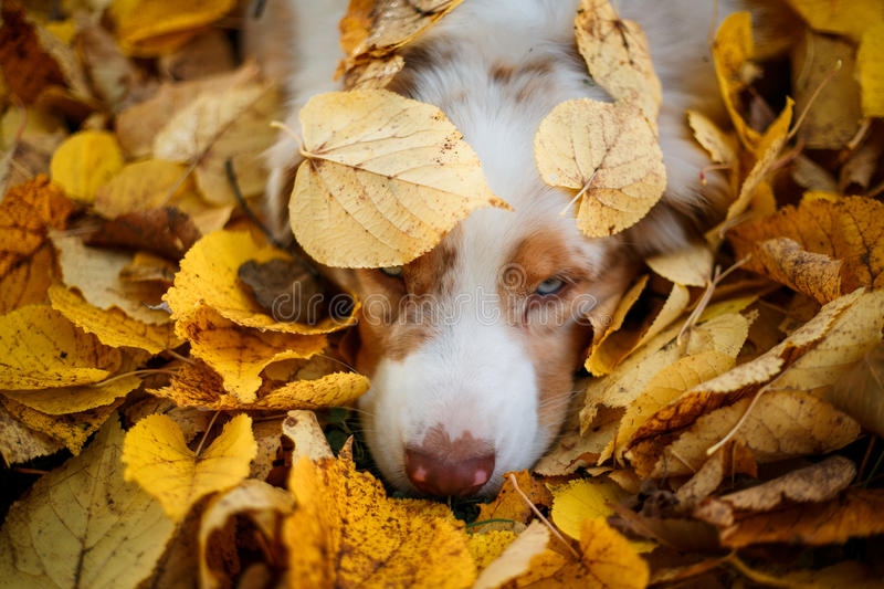 Dog in autumn park. Dog portrait in autumn park with fallen leaves on head royalty free stock photography
