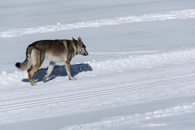 Dog avalanche. Of snowy mountain path stock images