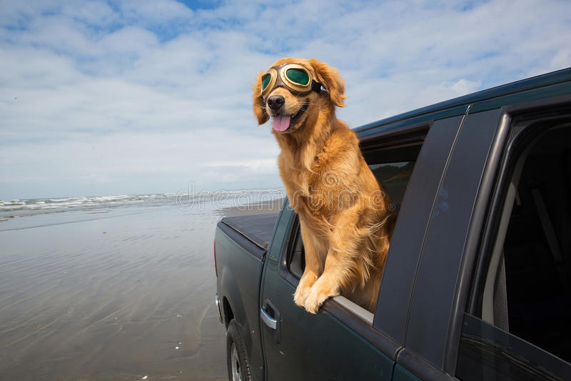 Dog in the back seat. A beautiful golden retriever dog looking out the window while driving on the beach wearing goggles stock photography