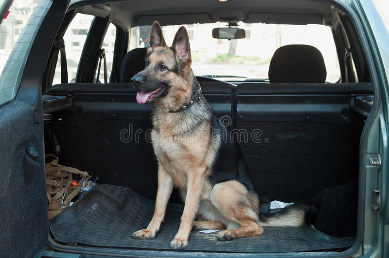 Dog in back seat car royalty free stock photo
