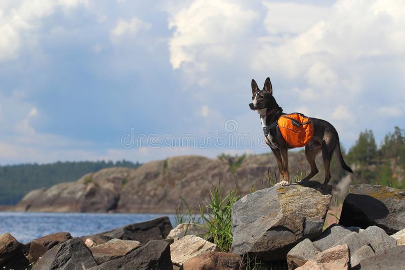 Dog with a backpack stock photography