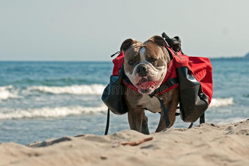 Dog backpack ....Old English Bulldog carry bags on their back stock images