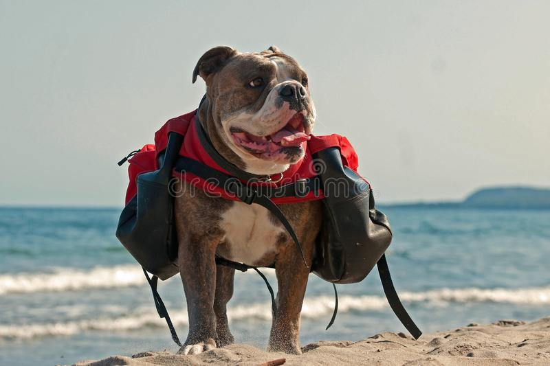 Dog backpack ....Old English Bulldog carry bags on their back royalty free stock photography