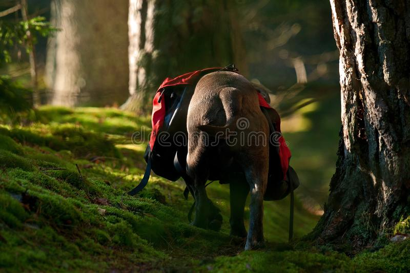 Dog backpack ....Old English Bulldog carry bags on their back royalty free stock image