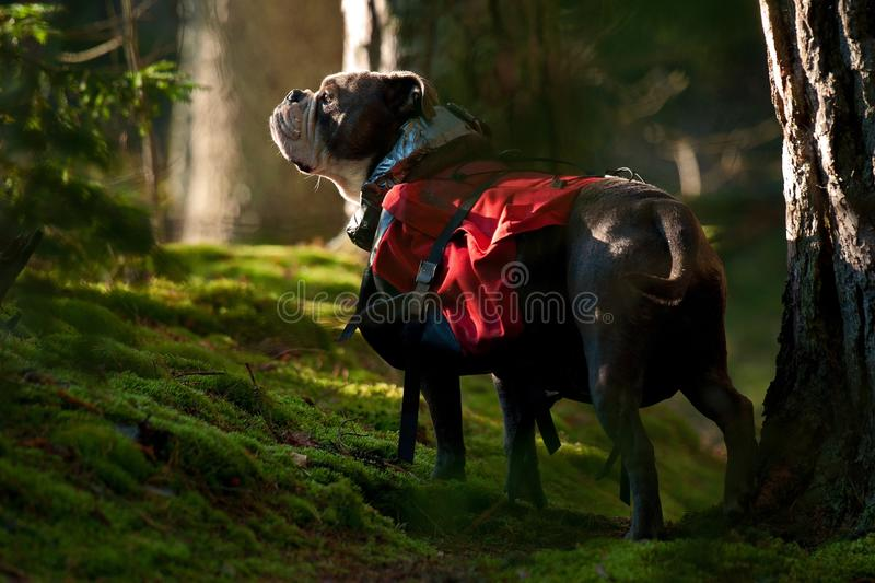 Dog backpack ....Old English Bulldog carry bags on their back. Dog Backpack ....Old English Bulldog working to carry bags on their back on a camping trip in the stock photography