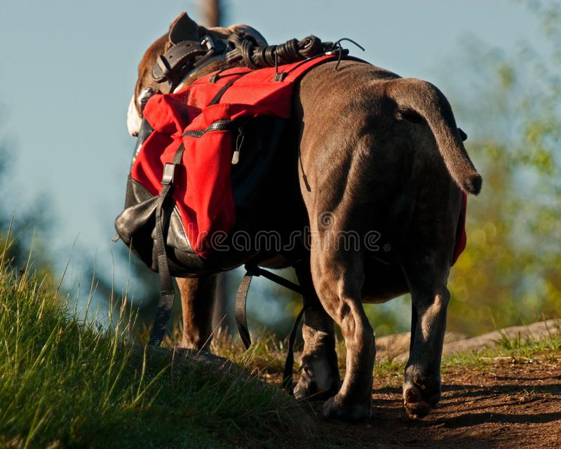 Dog backpack ....Old English Bulldog carry bags on their back stock photography