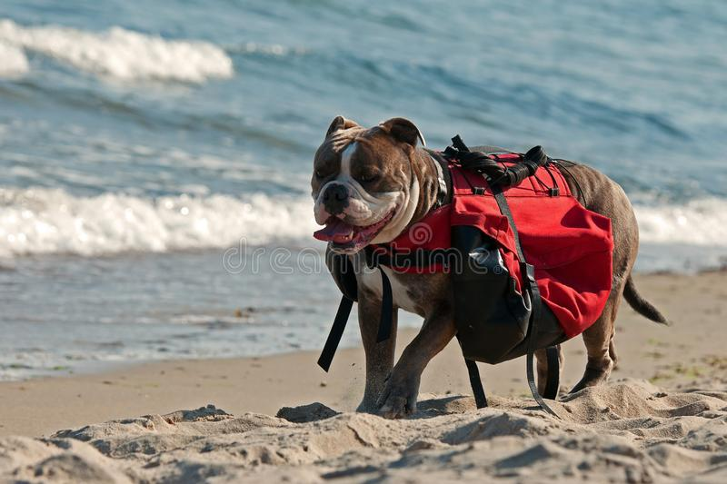 Dog backpack ....Old English Bulldog carry bags on their back royalty free stock photo