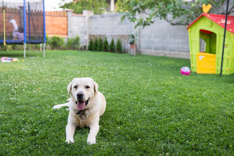 Dog in the backyard royalty free stock image