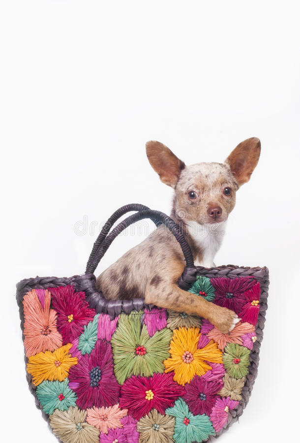 Download Dog in a bag stock photo. Image of muzzle, doggy, doxie - 22038668