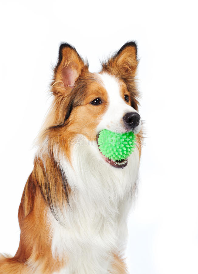 Download Dog with ball stock image. Image of alert, obidience - 25627193