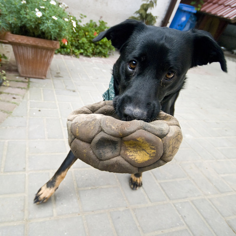 Download Dog and ball stock image. Image of playful, black, fetches - 6532179