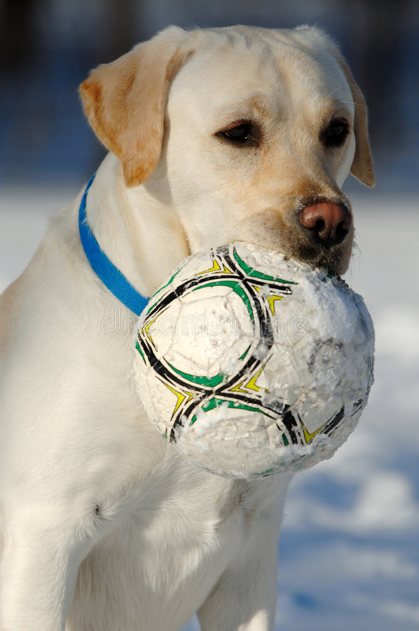 Dog with Ball in Snow stock images