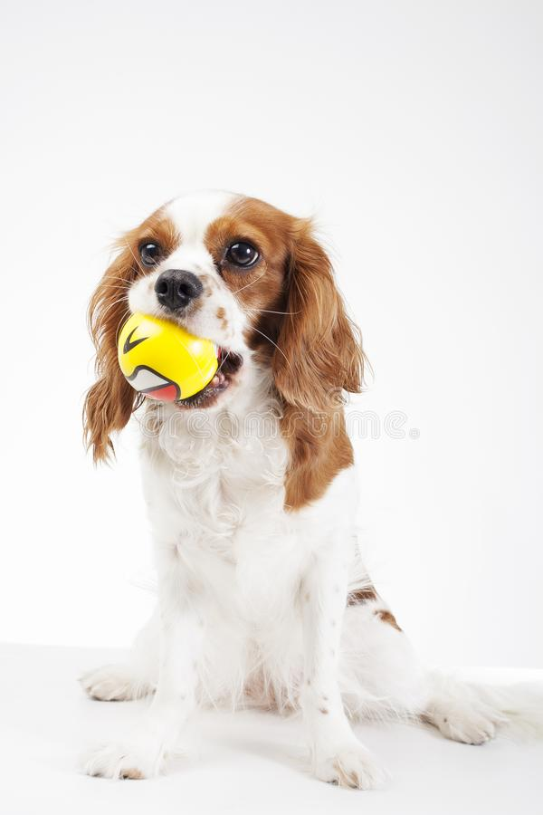 Dog with ball toy Cavalier king charles spaniel dog photo. Beautiful cute cavalier puppy dog on isolated white studio stock photo
