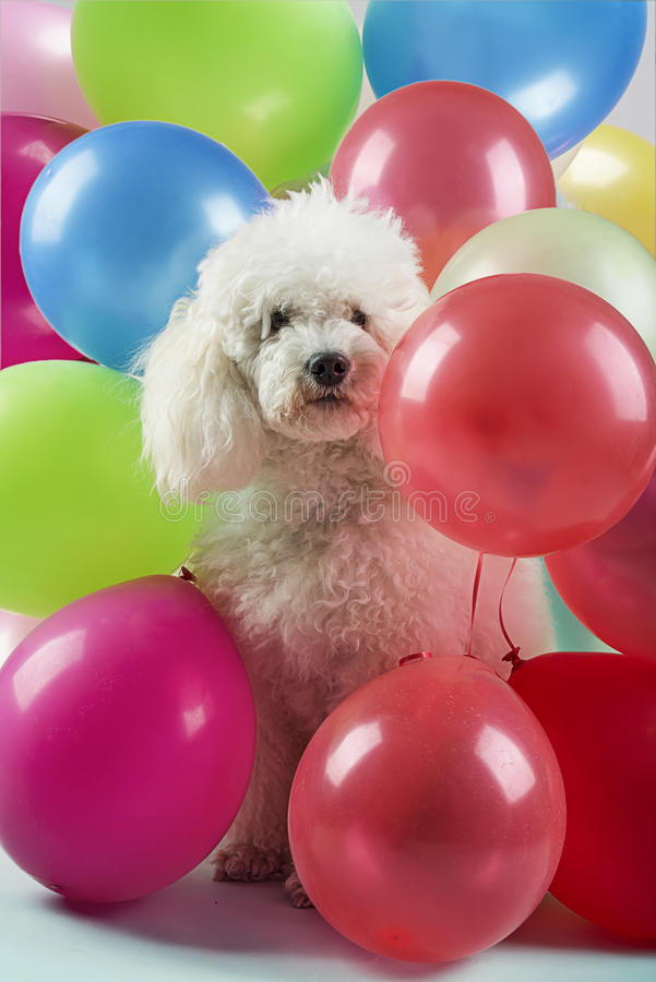 Dog with balloons. White dog with colorful balloons stock image