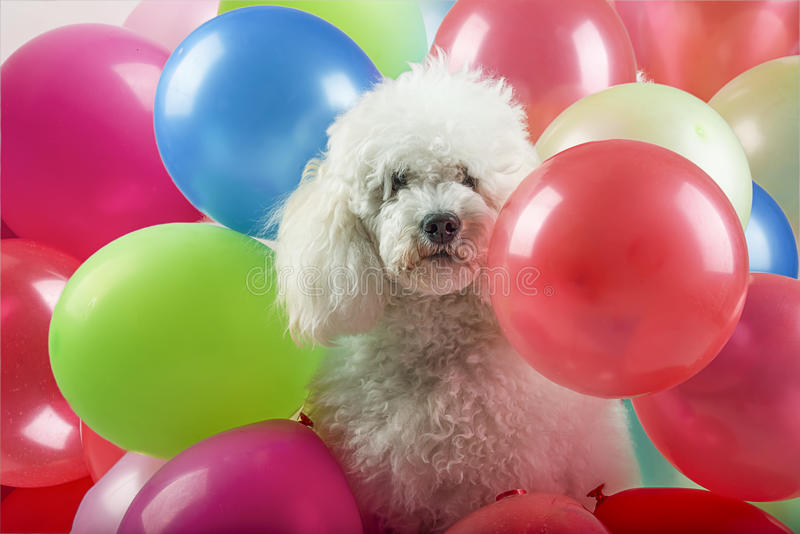 Dog with balloons royalty free stock photography