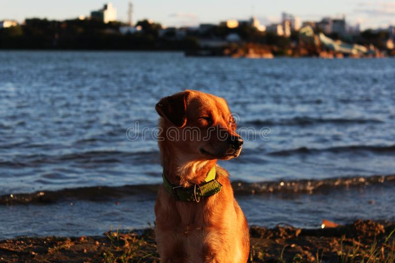 Dog on the bank of the São Francisco river royalty free stock photo