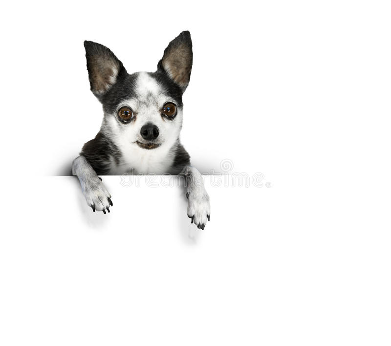 Dog banner. A chihuahua dog with big eyes and a sad face leans over a white banner