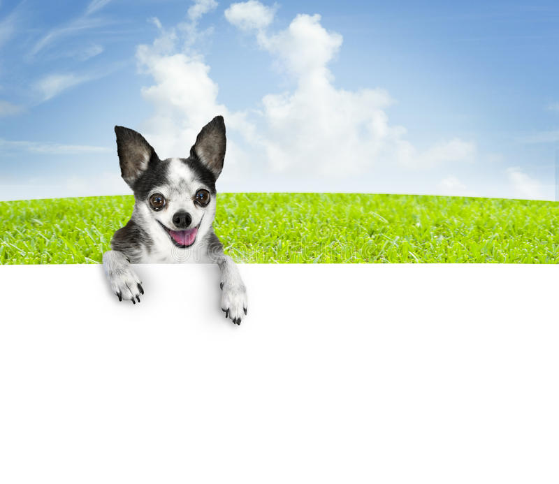Dog banner. A chihuahua dog with big eyes and a smiling face with green grass and cloudy sky background