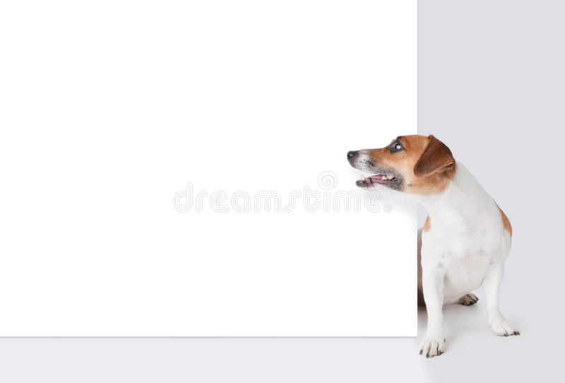 Dog with banner. Jack Russel terrier above white placard stock photography