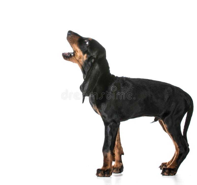 Dog barking stock image