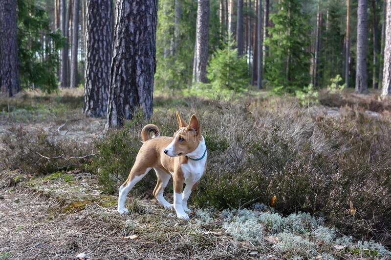 A dog of basenji breed with short hair of white and red color, standing outside with forest in background on summer stock images