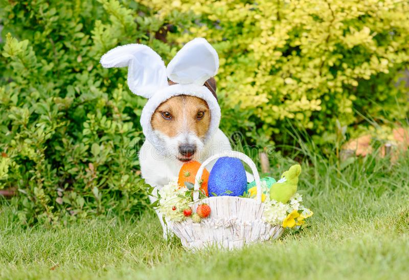 Modest cute dog wearing bunnies ears as Easter costume stock photography