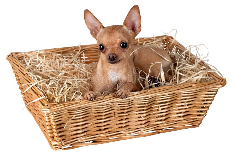 A dog in a basket with straw royalty free stock photos