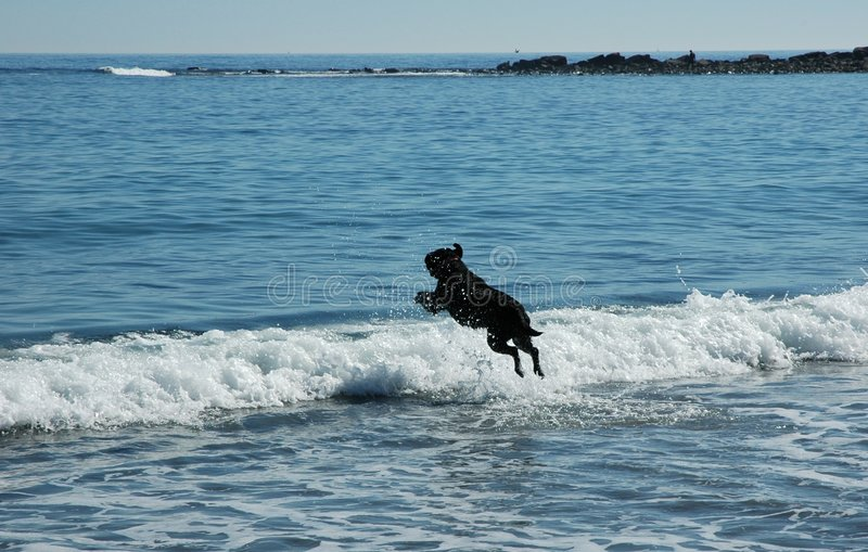 Download Dog on the beach stock photo. Image of black, labrador - 1320360