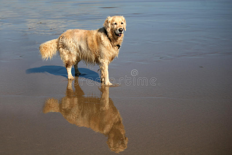 Dog on beach. Golden retriever standing on beach royalty free stock photos