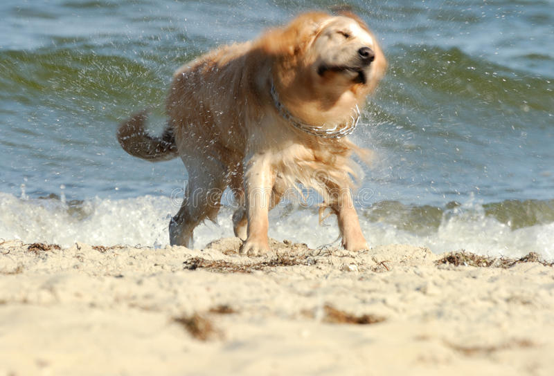 Dog on the beach. Dog shaking on the beach royalty free stock photography